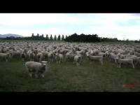 המחאה החברתית של הכבשים
