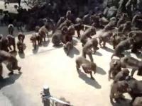 הלוחש לקופים