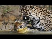 צפו: היגואר מכה שנית ותוקפת תנין נוסף בתוך אגם מים