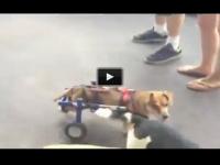 צפו: כלב נכה משתלב בחברה