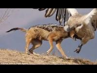 צפו: בעלי חיים גדולים מותקפים על ידי נשר