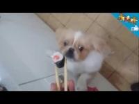 כלב פקינז אוכל סושי