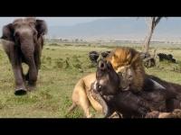 מצמרר: פיל הציל תאו מפני האריות התוקפים