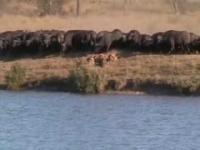 אריות נגד באפלו נגד תנינים, נדיר!