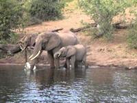 פיל נגד תנין