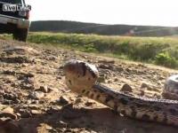 מה קורה כשמעצבנים את הנחש?