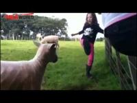 כבשה תוקפנית