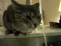 החתול שלא יודע לשתות מהברז