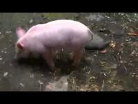 צפו: החזיר מציל את הגדי מטביעה
