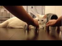 חתול משחק בהימורי כדור
