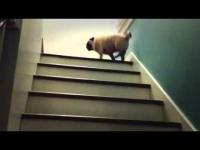 כלב קופצני