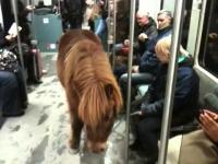 סוס פוני עלה לרכבת בכדי להגיע ליעדו