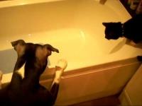 כלב מקלח חתול