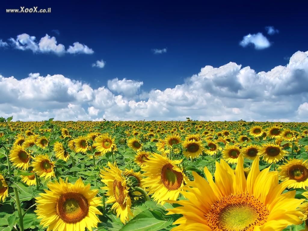 Украинские цветы картинки 3