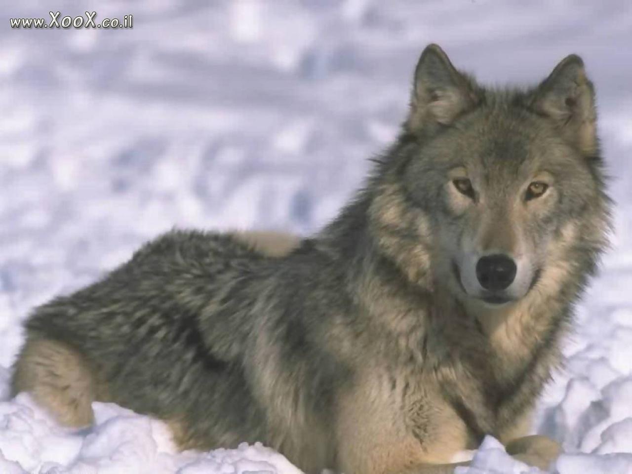 аватарки для контакта волки: