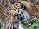 טייגר Tiger