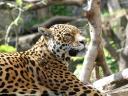 Jaguar Panthera