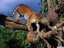 נמר Leopard