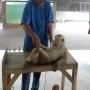 קוף בביצוע שכיבות שמיכה וכפיפות בטן