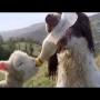 צפו: כלב רחום מאכיל כבש מיותם עם בקבוק