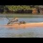 צפו: יגואר תוקף תנין