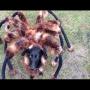 [מתיחה] - כלב מחופש לעכביש ענק מטיל אימה על אנשים