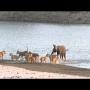 צפו: פיל צעיר שורד התקפה מ-14 אריות