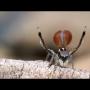 עכבישי טווס מדהימים בביצועי ריקוד אהבה מרתקים