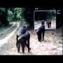 צפו: כך הגיבו חיות בג'ונגל כשנתקלו לראשונה בהשתקפותן במראה