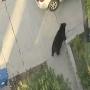 [אמיתי] - דוב באמצע הרחוב