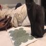 חתול מהופנט על ידי אשליה אופטית