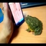 [אמיתי] - צפרדע משחקת בסמארטפון