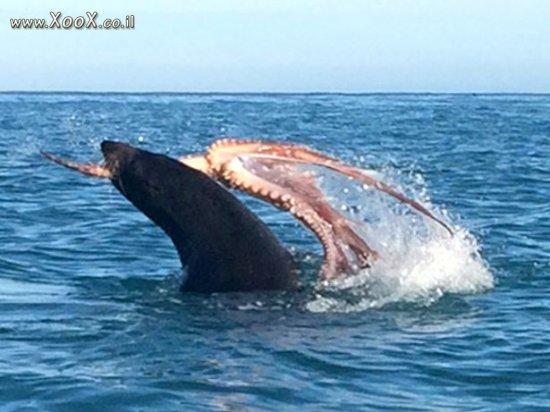 אריה ים נגד תמנון