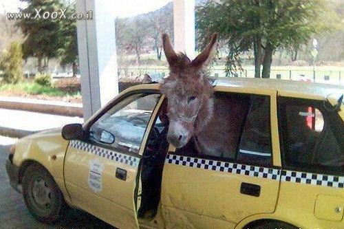 תמונת חמור תופס מונית